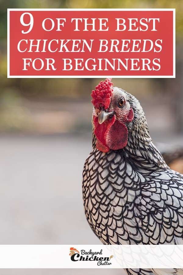 Best Beginner Chicken Breeds for Your Backyard