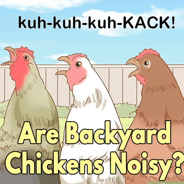 Are Backyard Chickens Noisy?