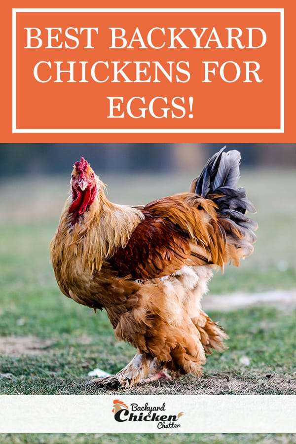 BEST Backyard Chickens for Eggs