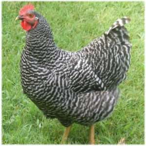 Barred-Rock-Hen