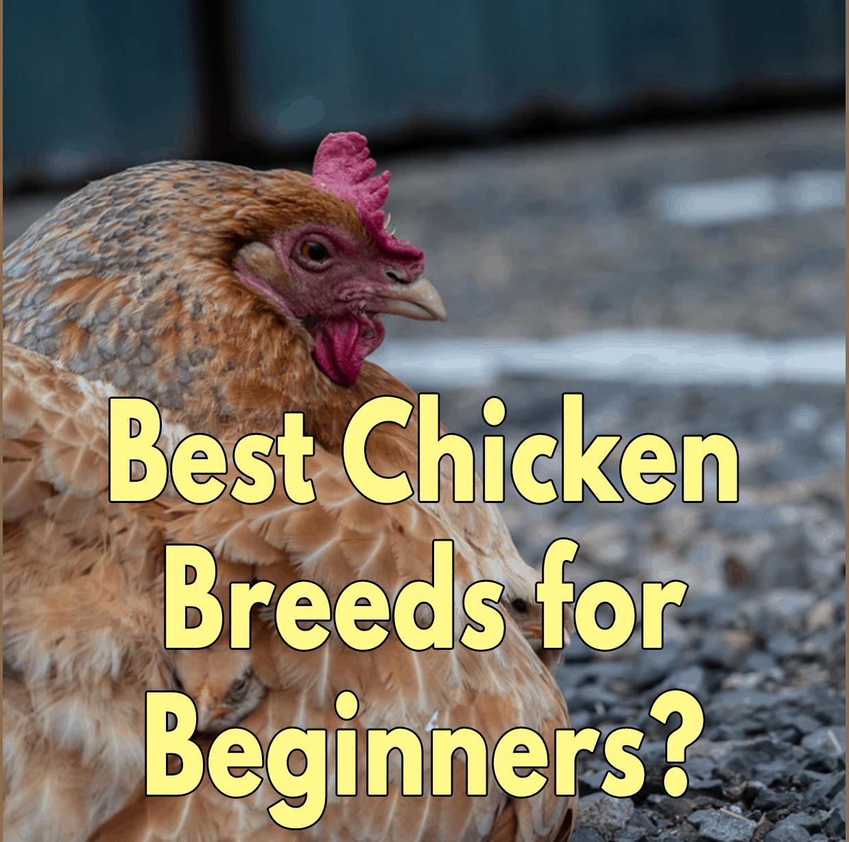 Best Chicken Breeds for Beginners?