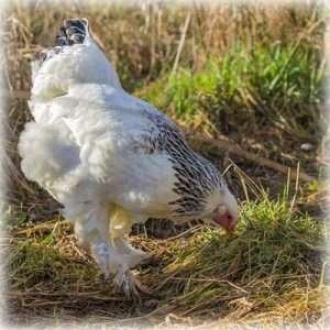 Best Chicken for eggs