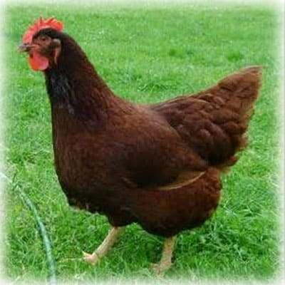 Best Chicken for beginners