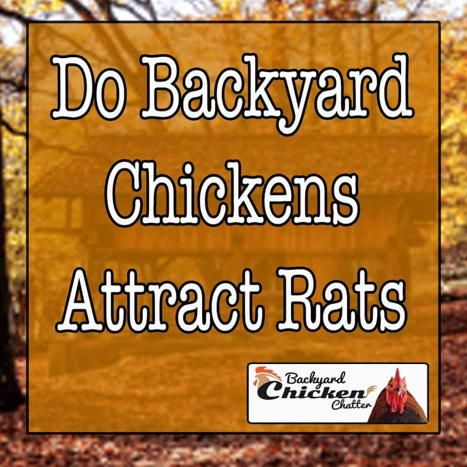 Do Backyard Chickens Attract Rats?