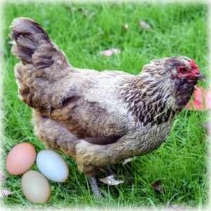 Easter_egg_Chicken