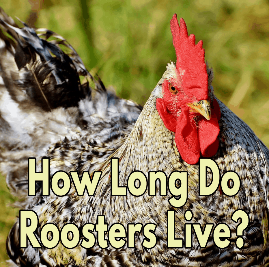 How-Long-do-Roosters-Live