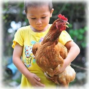 What are the Friendliest Chickens?