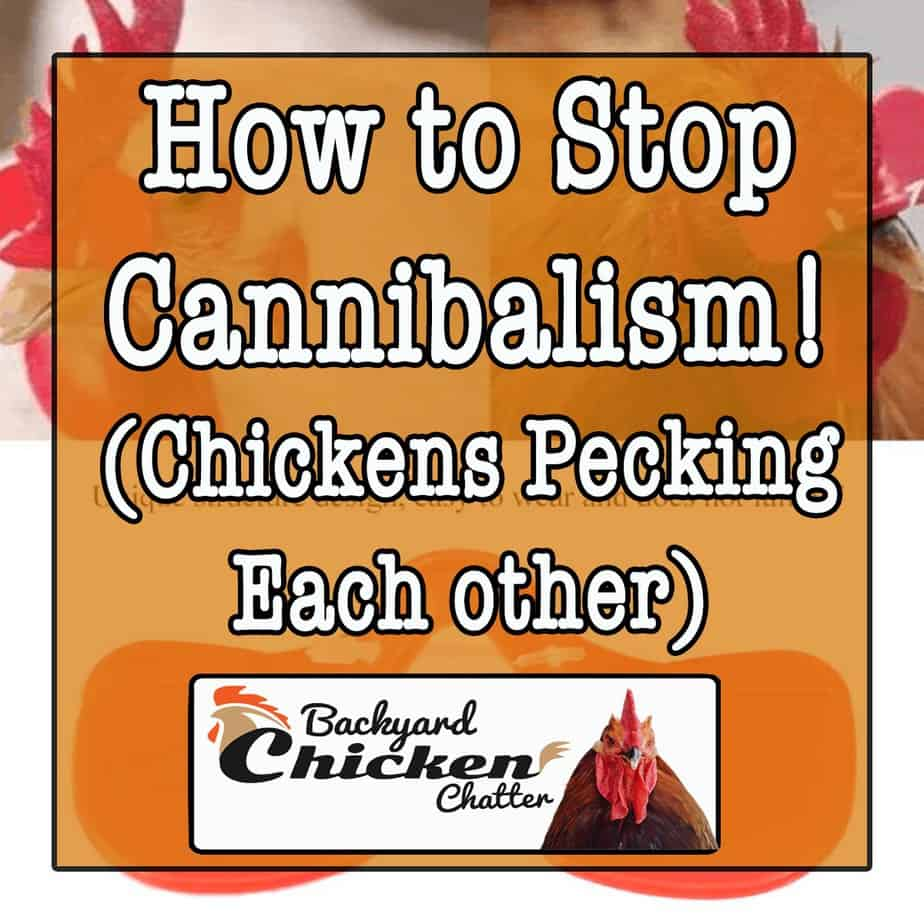 How to Stop chickens Pecking each other