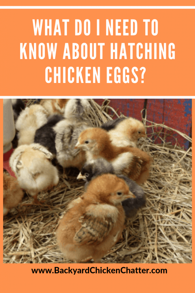 What do I need to Know about Hatching Chicken Eggs?