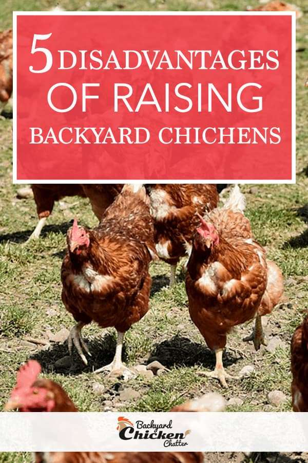 5 Disadvantages to raising chickens in your backyard