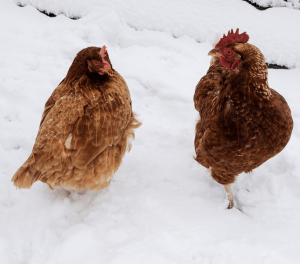 5 Tips to Keep Chickens Warm in the Winter