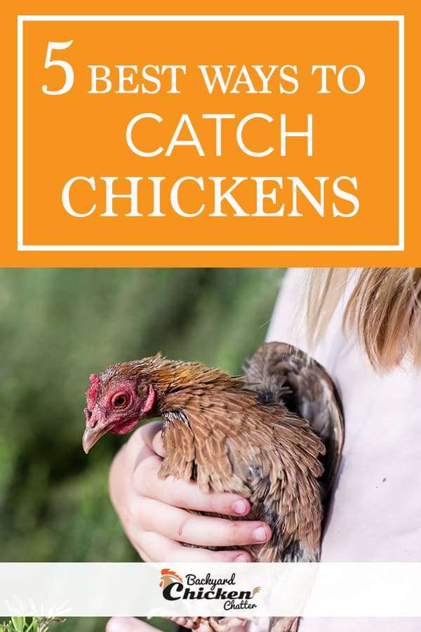 5 Of the Best Ways to Catch Backyard Chickens