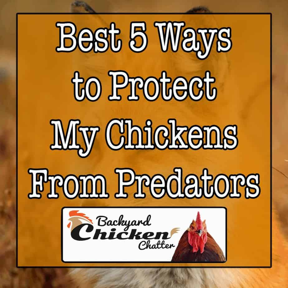 Best-5-Ways-to-Protect-My-Chickens-From-Predators