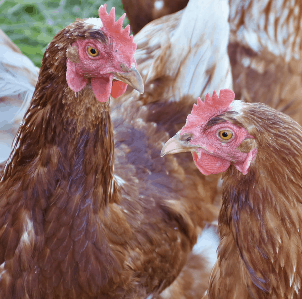 Best Egg Laying Chicken Breeds!