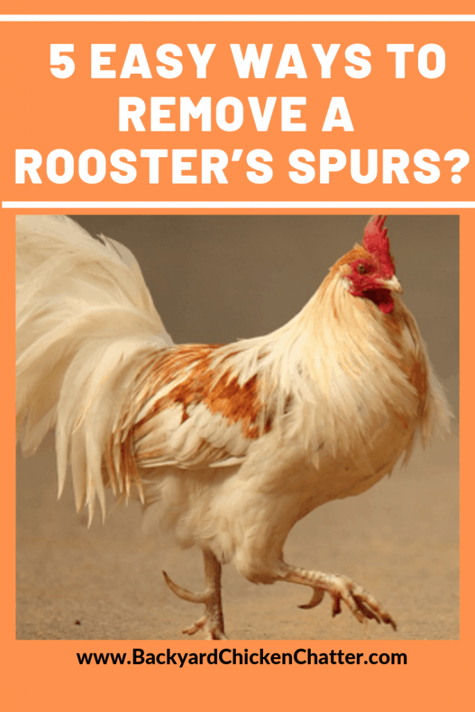 What are the 5 Easy Ways to Remove a Rooster's Spurs?
