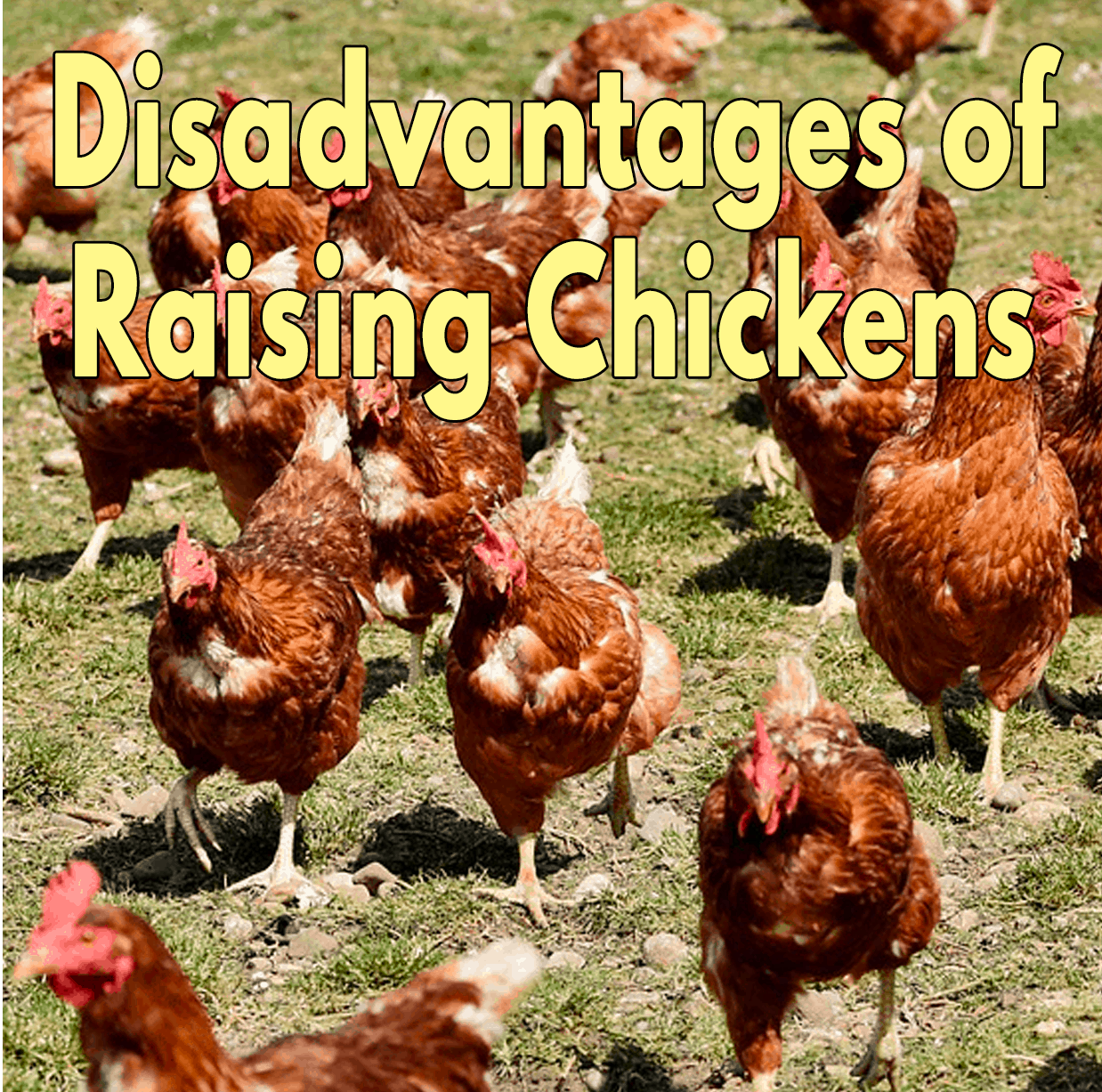 Disadvantages of Raising Chickens