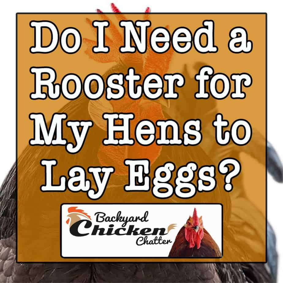 Do I Need a Rooster for My Hens to Lay Eggs?