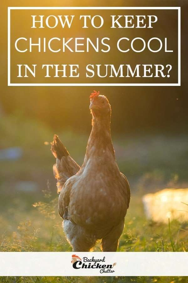 How to keep chickens cool in the summer?