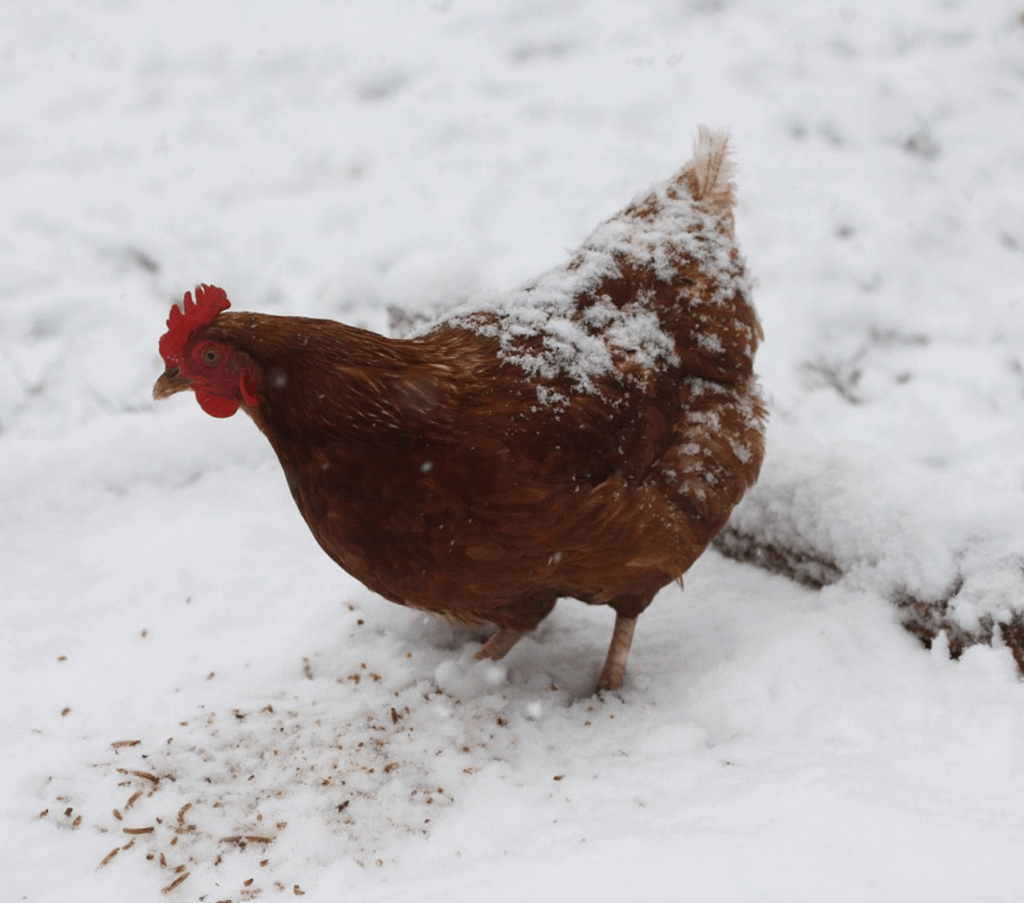 Tips To Keep Chickens Warm In The Winter