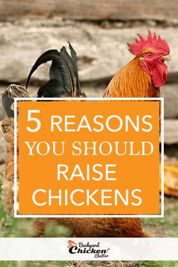 5 reasons to raise chickens in your backyard for organic eggs