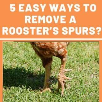 How to Remove Rooster Spurs - 5 REALLY Easy Methods