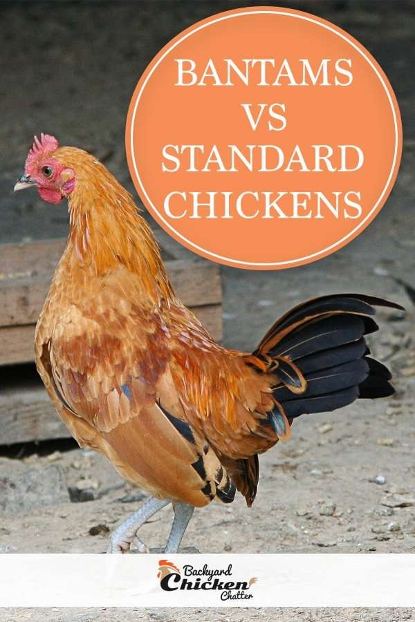 Whats the difference between bantams vs standard chickens