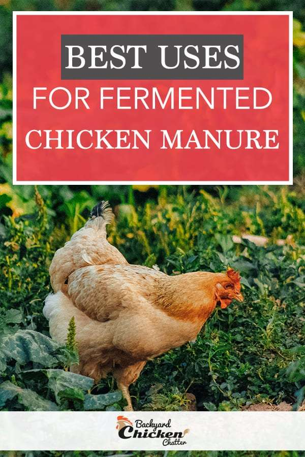 The Best Uses for Fermented Organic Chicken Manure