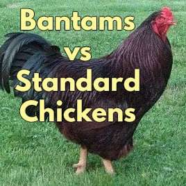 Bantams vs Standard Chickens