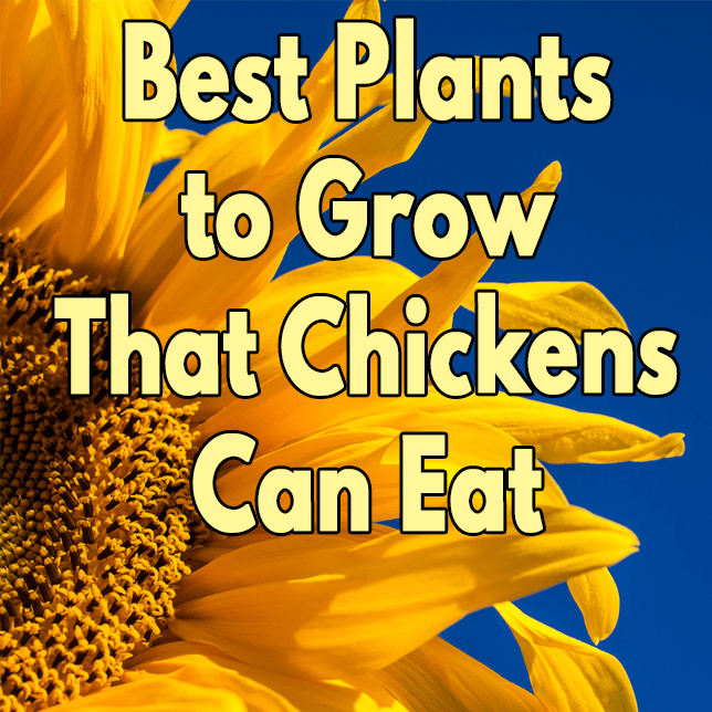 Best Plants to Grow That Chickens Can Eat