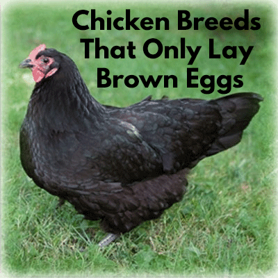 Chickens that only lay brown eggs