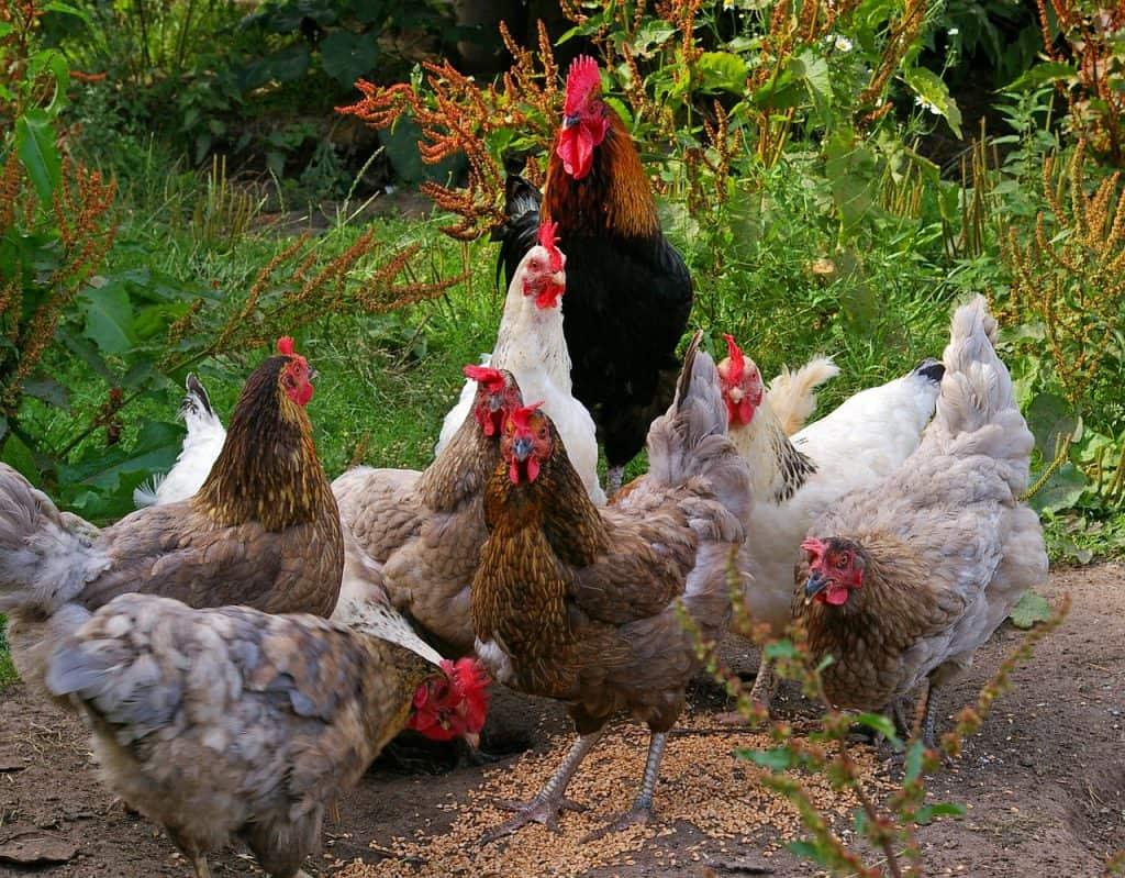How to start raising backyard chickens