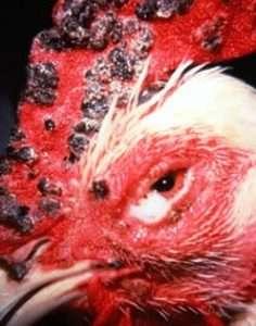 Fowl Pox - Chicken Disease