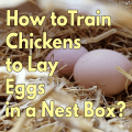 How-to-train-chickens-to-lay-eggs-in-a-nest-box