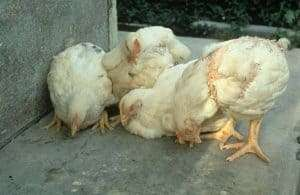 Newcastle disease affects chickens mostly