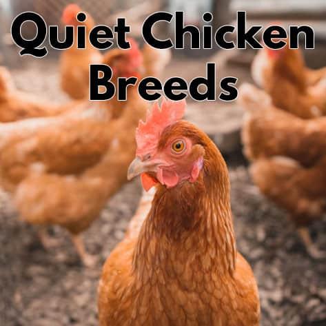 Quiet Chicken Breeds