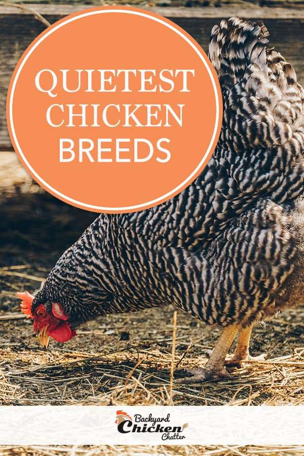 Quietest Chicken Breeds for your backyard coop