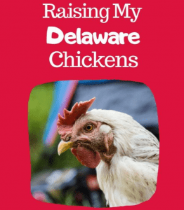 Raising Delaware Chickens