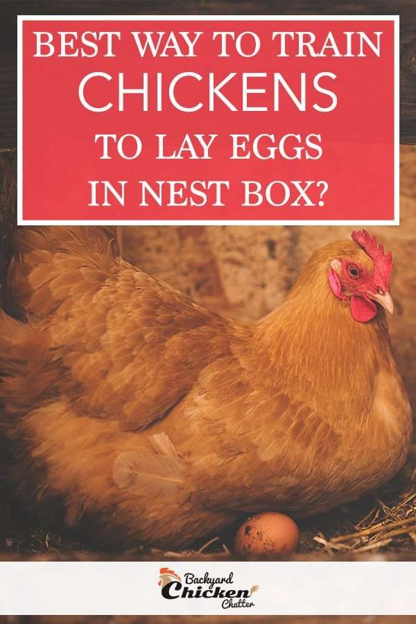 BEST WAYS TO TRAIN CHICKENS TO LAY EGGS IN NEST BOX