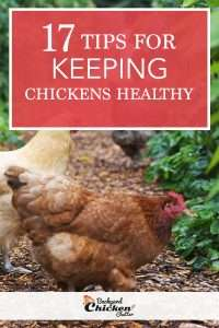 17 Tips for Keeping Your Backyard Chickens Healthy