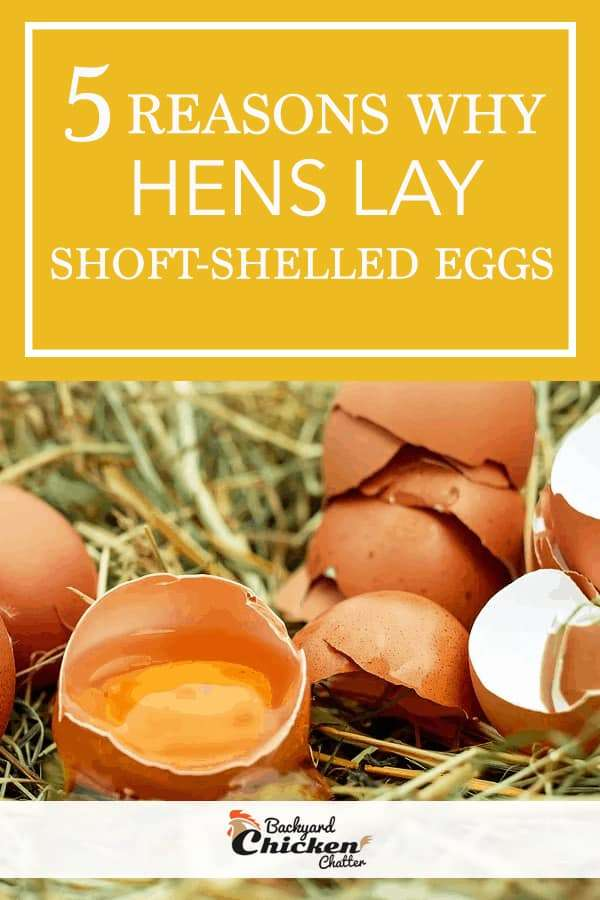 5 Reasons Why Hens Lay Soft-Shelled Eggs
