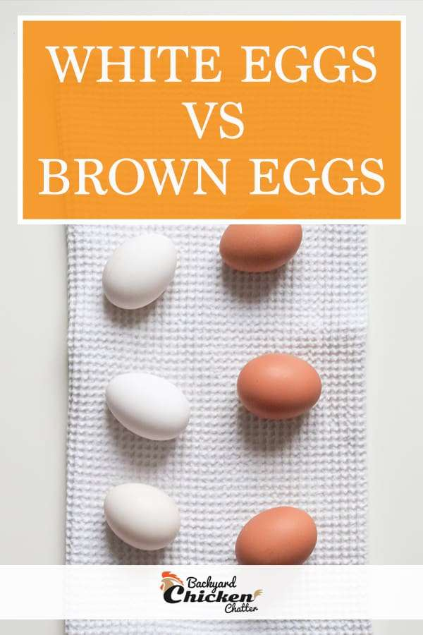 white eggs vs brown eggs which are better?