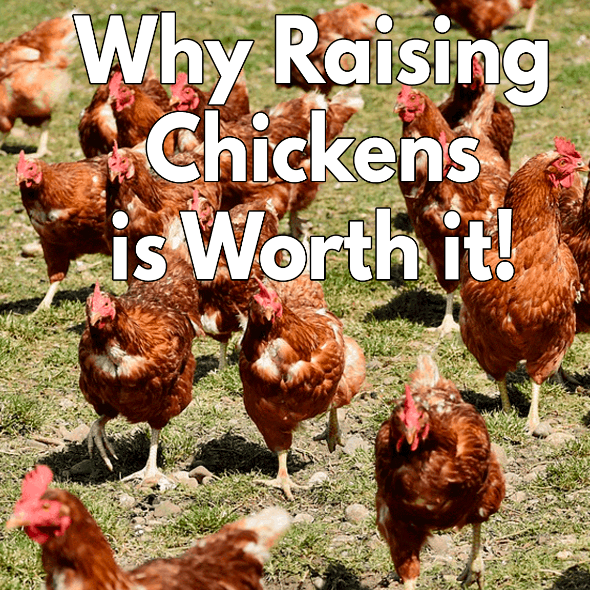 Why Raising Chickens are worth it