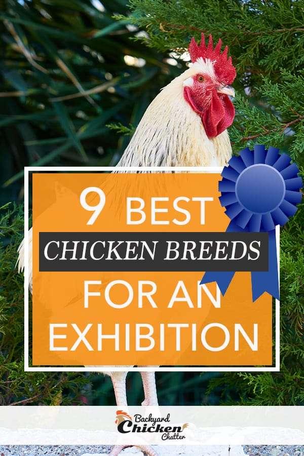 9 Best Chicken Breeds for Exhibition