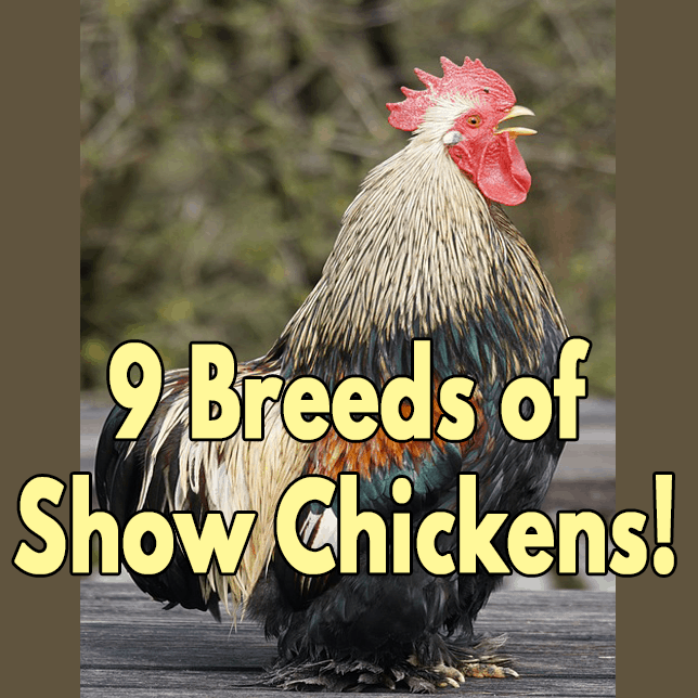 Show Quality Chickens for an Exhibition!