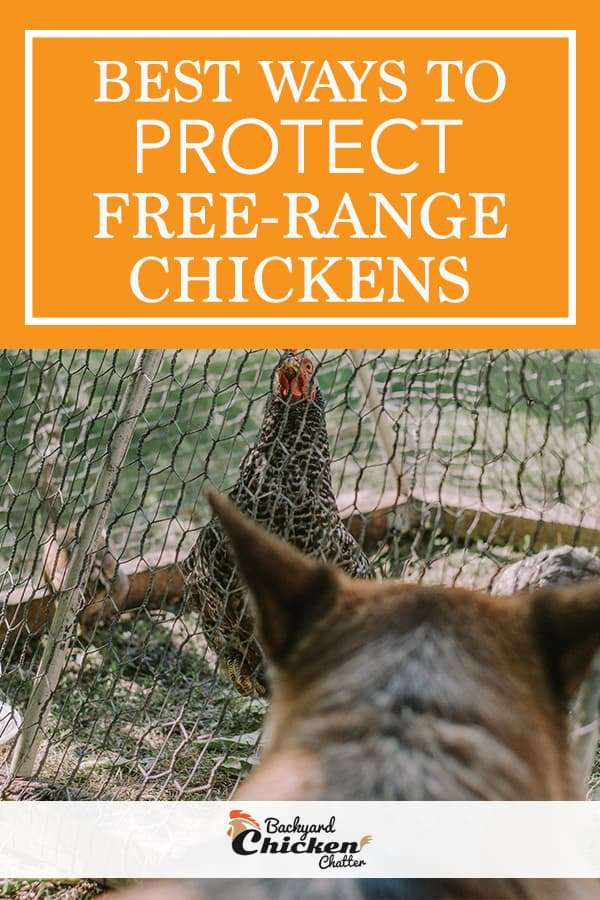 How to Protect Your Free-Range Chickens