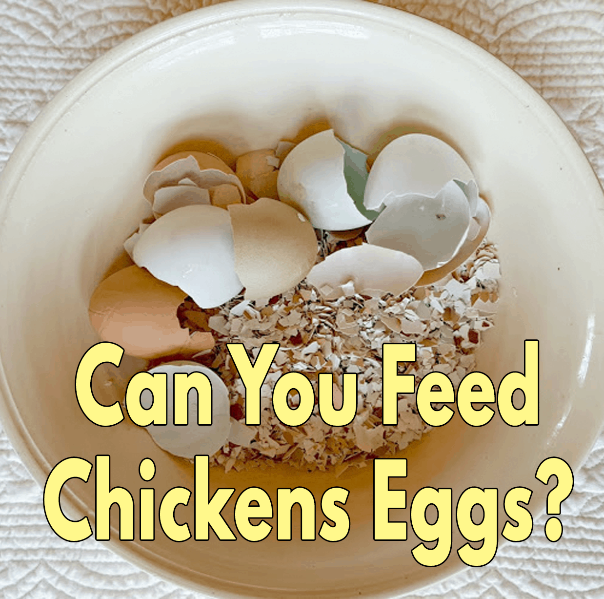 Can you feed chickens eggs?