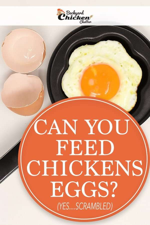 Can you feed backyard chickens eggs?