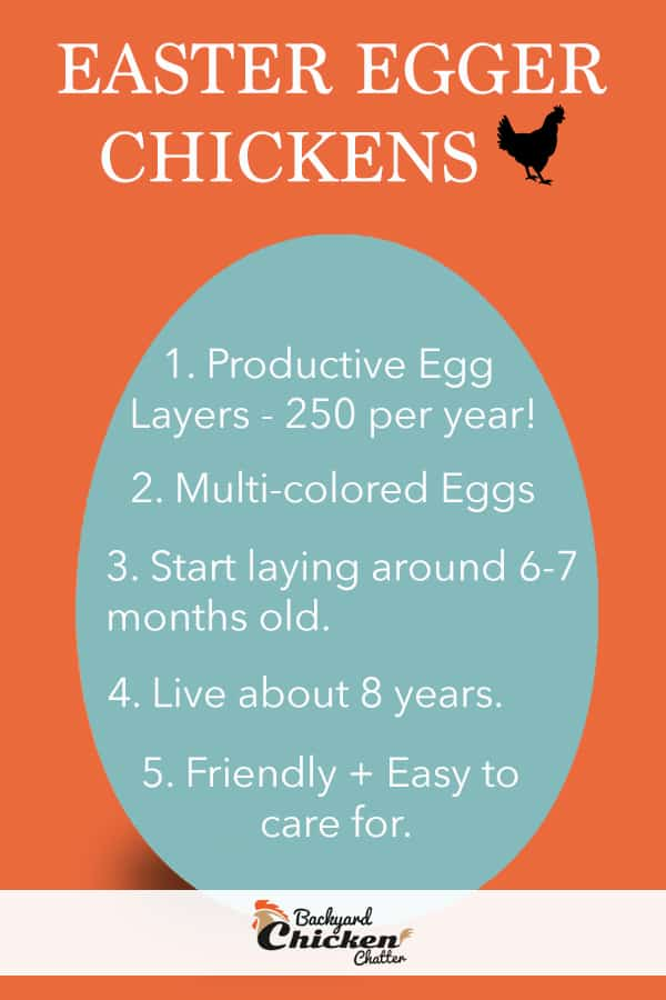 Facts About Easter Egger Chickens