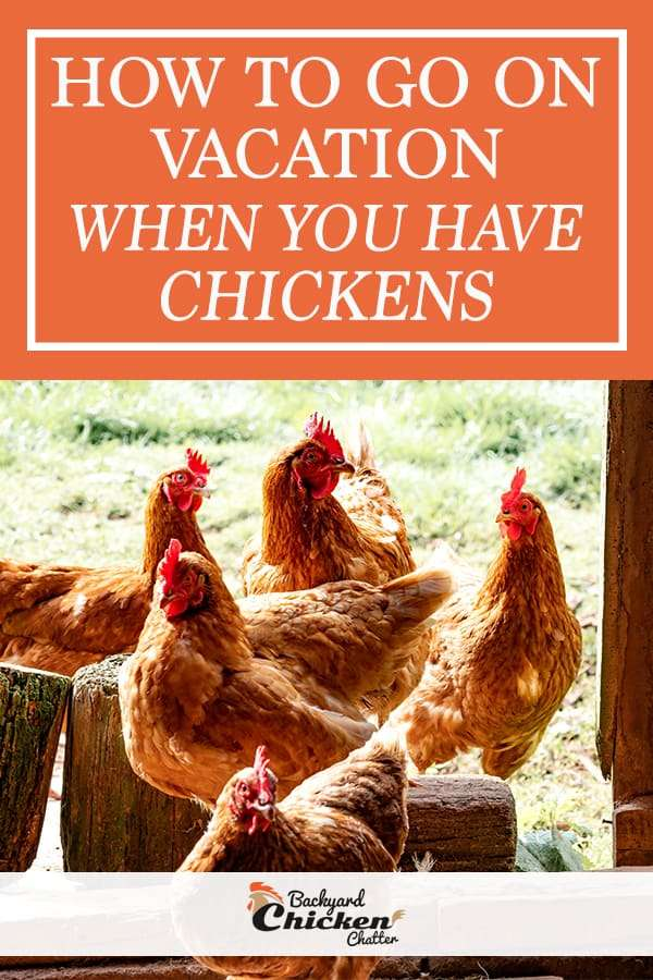 How to go on vacation when you have chickens