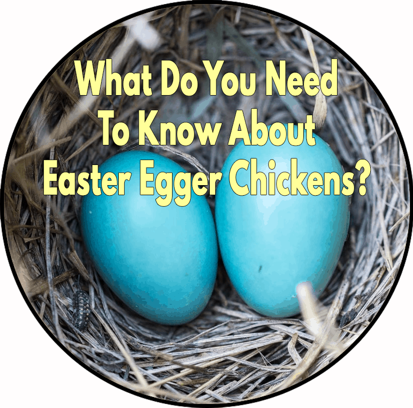 What do you need to know about Easter Egger chickens?